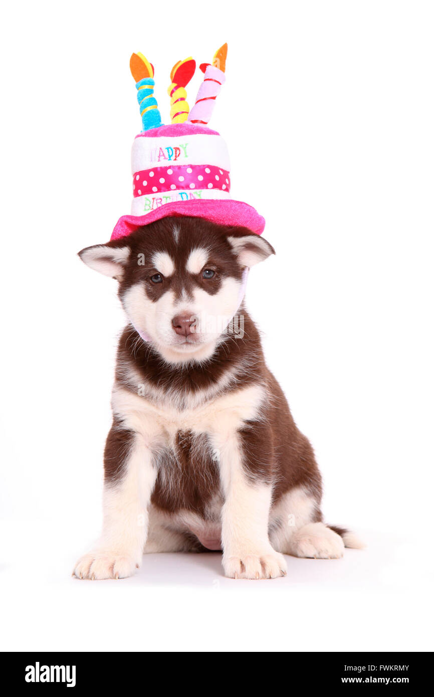 Alaskan Malamute Puppy 6 Weeks Old Sitting While Wearing A Hat Shaped As Birthday Cake Studio Picture Against White