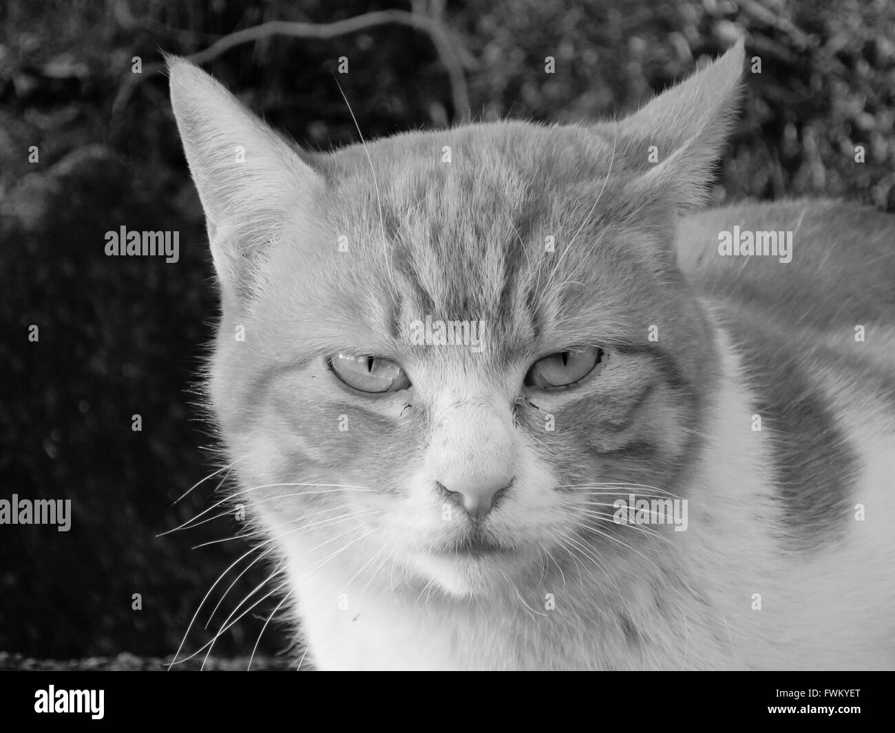 Close-Up Portrait Of Angry Cat Outdoors - Stock Image