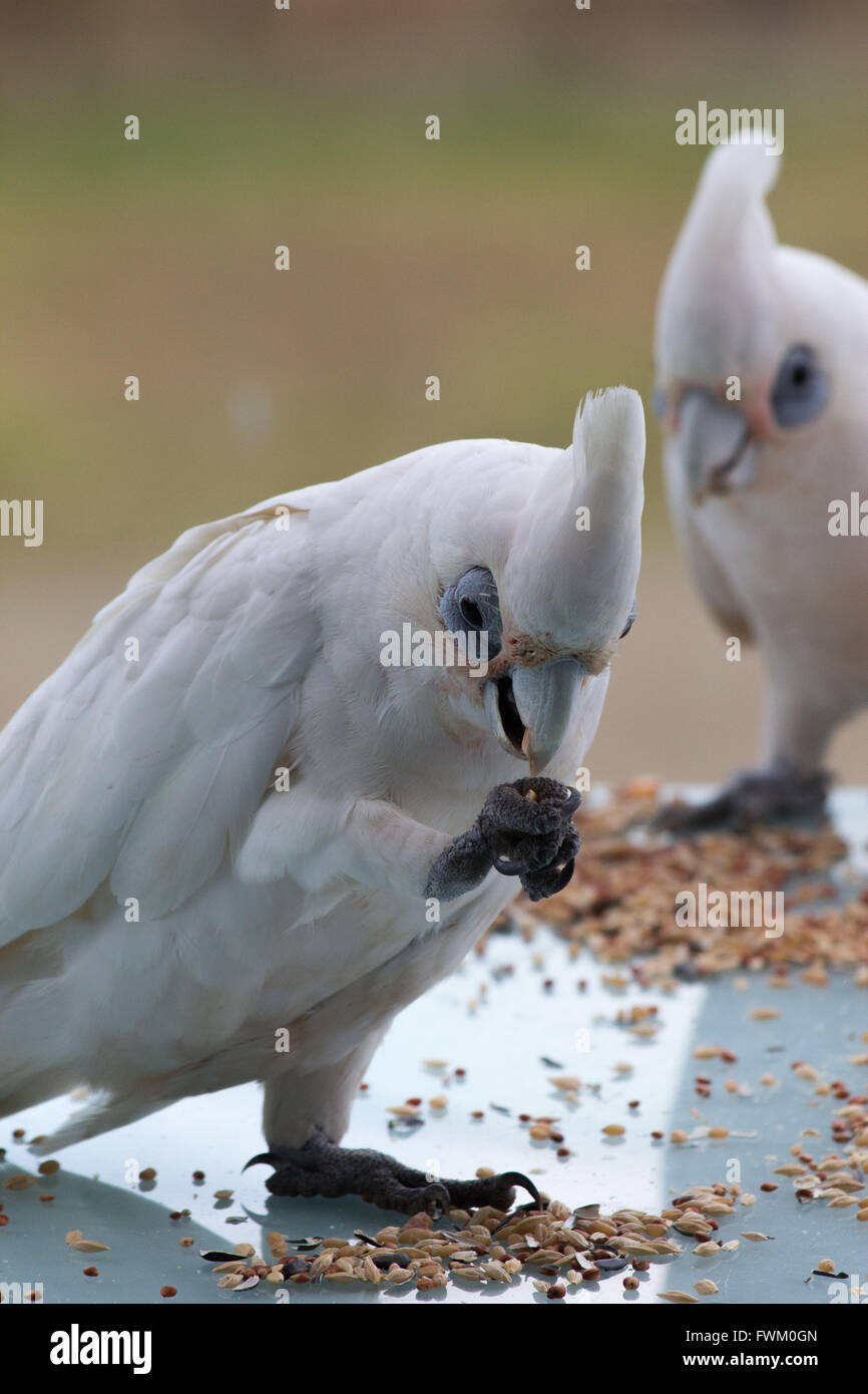 Close-Up Of Little Corellas Feeding On Table - Stock Image