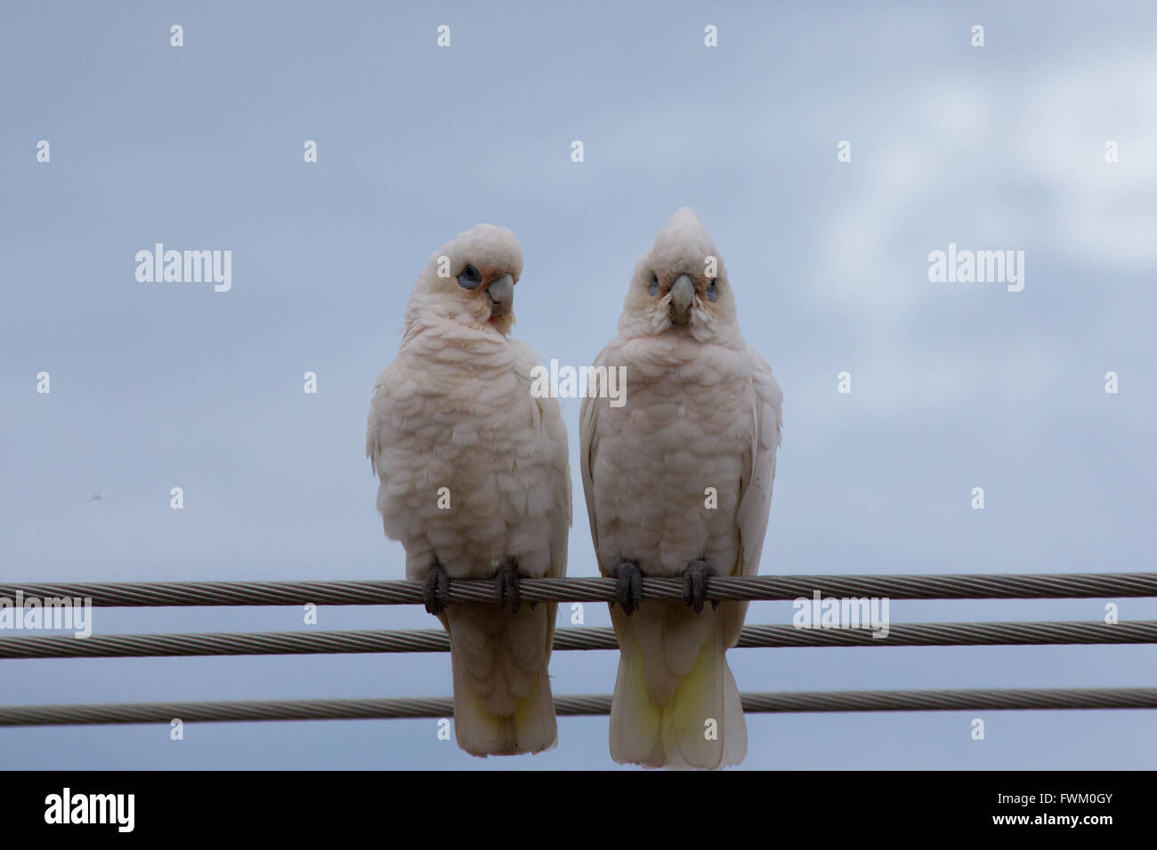 Low Angle View Of Little Corellas Perching On Cables Against Sky - Stock Image