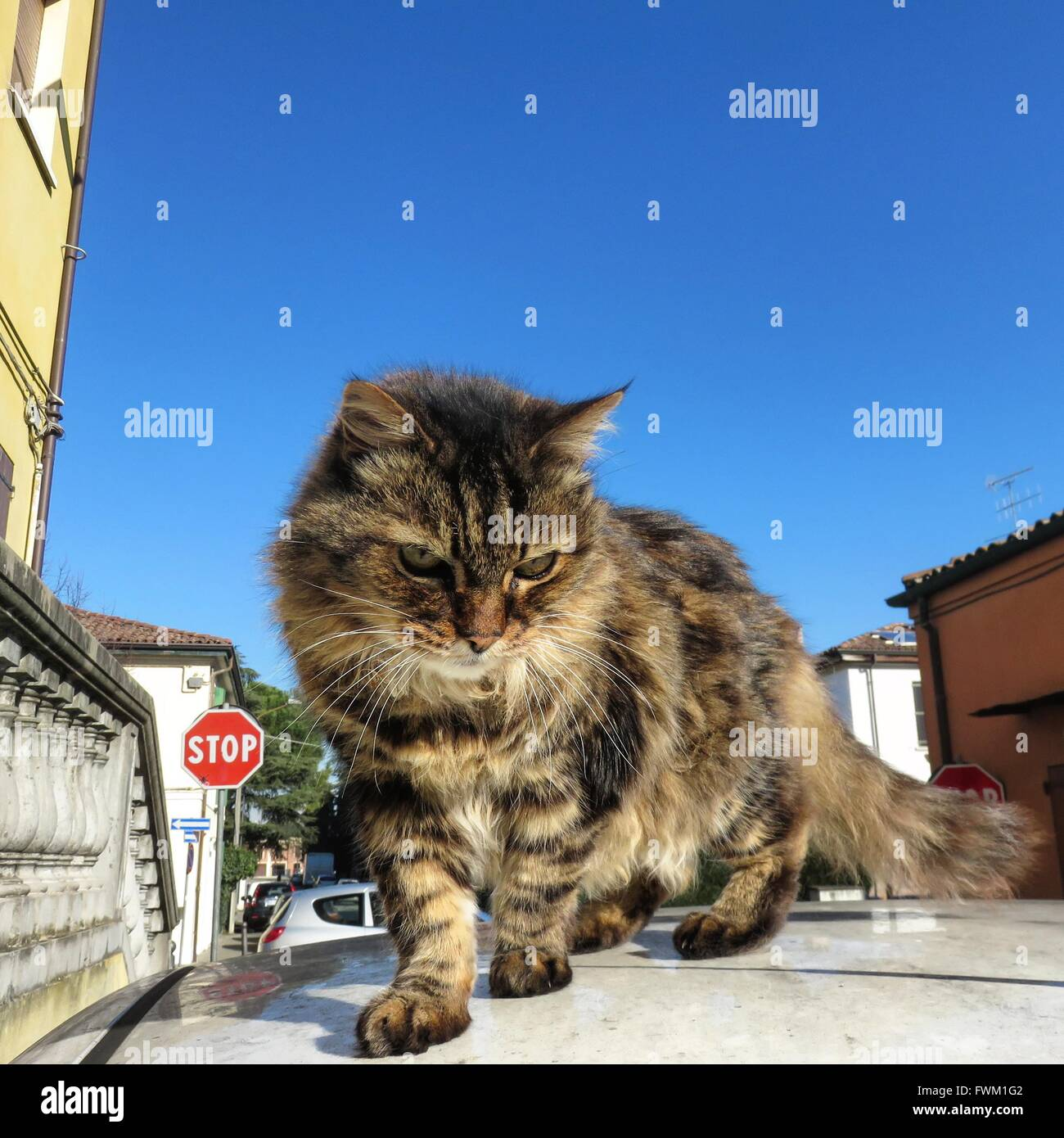 Close-Up Of Cat On Car Roof Against Clear Blue Sky - Stock Image