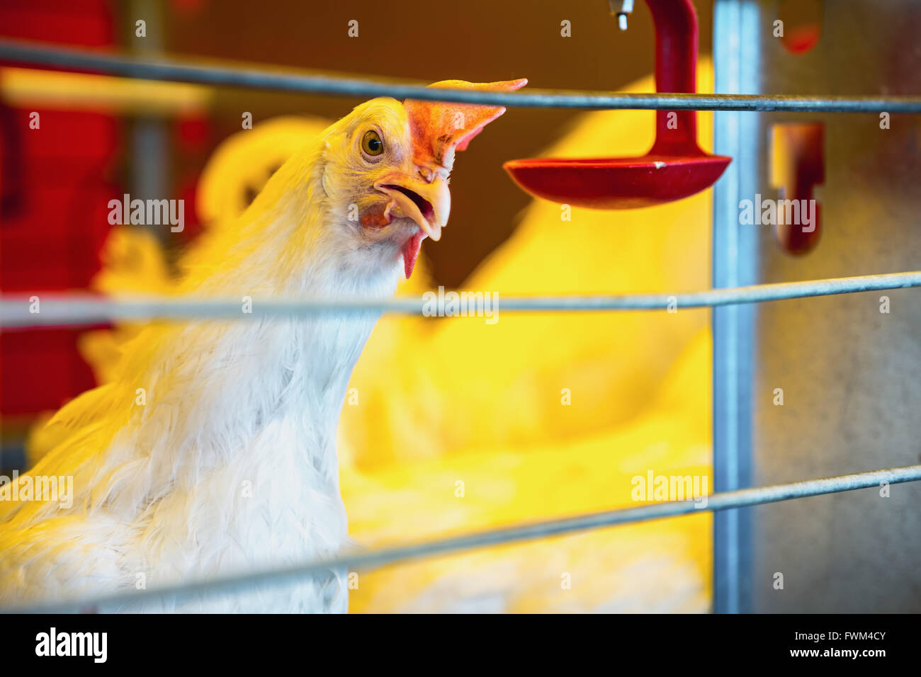 Close-Up Of Chicken Bird In Cage At Poultry Farm - Stock Image