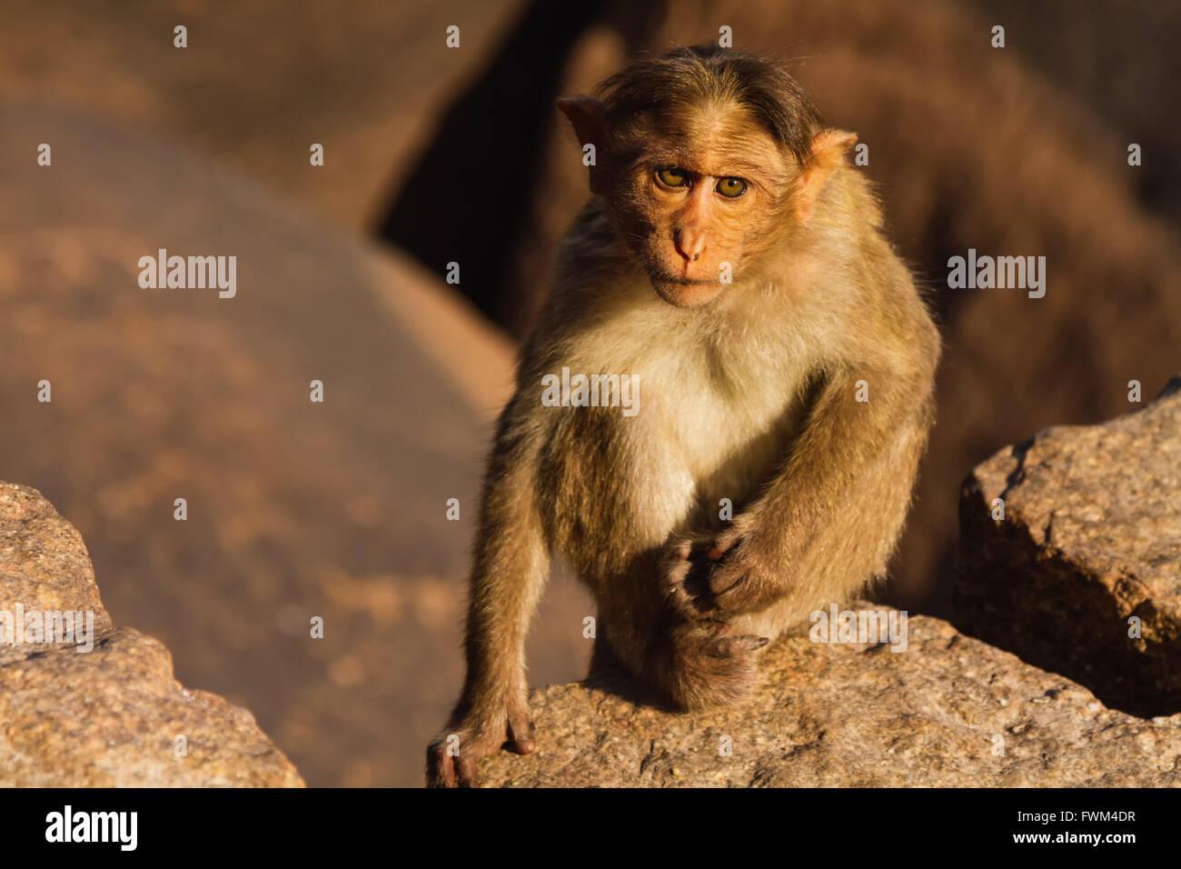 Portrait Of Monkey On Rock - Stock Image