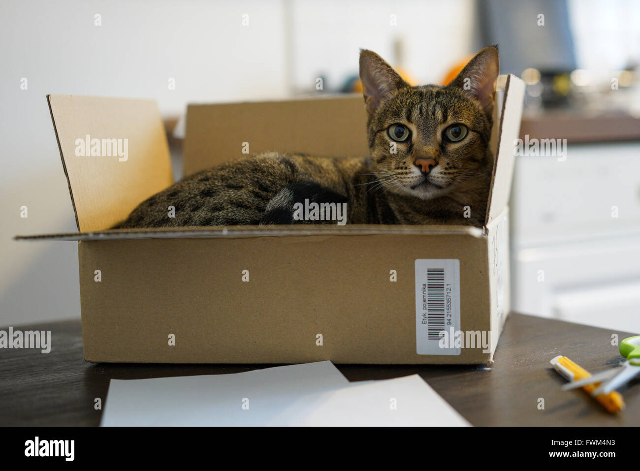 Portrait Of Cat In Cardboard Box On Table - Stock Image