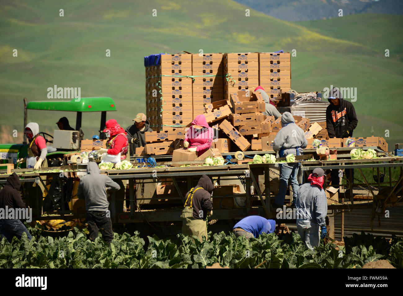 migrant Mexican workers pick vegetable crops in fields of Southern California near Santa Maria, USA - Stock Image