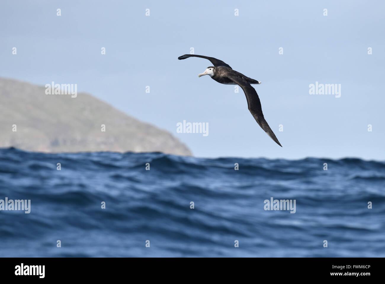 Antipodean Albatross - Diomedea antipodensis - Stock Image