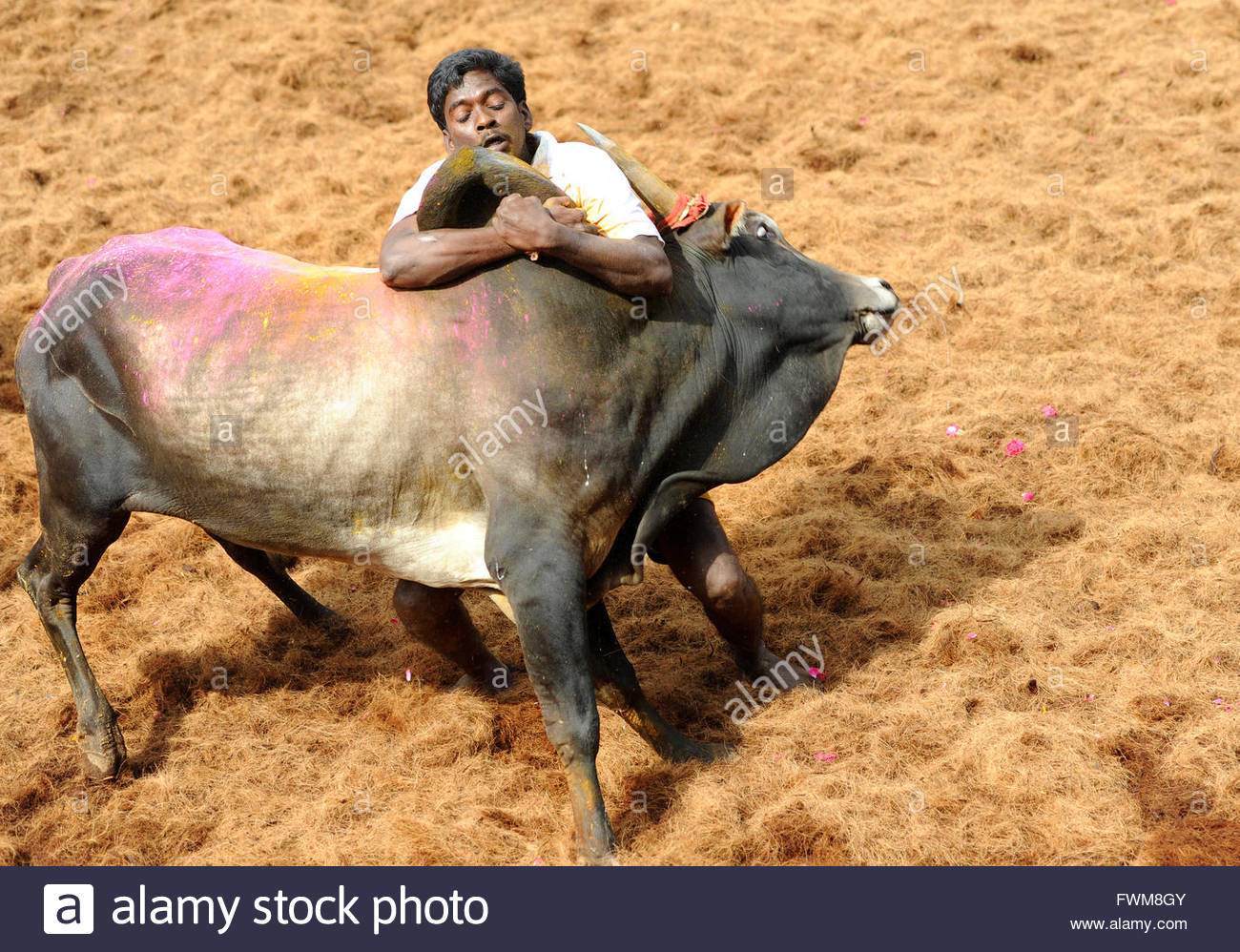 Indian Bull Fight, Jallikattu /taming the bull happens during pongal (harvest festival) celebrations in Tamilnadu, - Stock Image