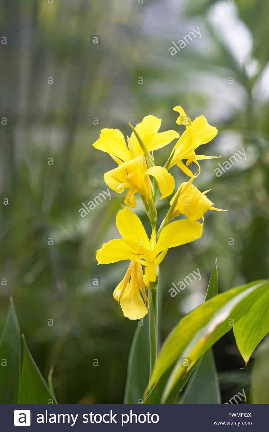 Canna 'Ra' flower. - Stock Image