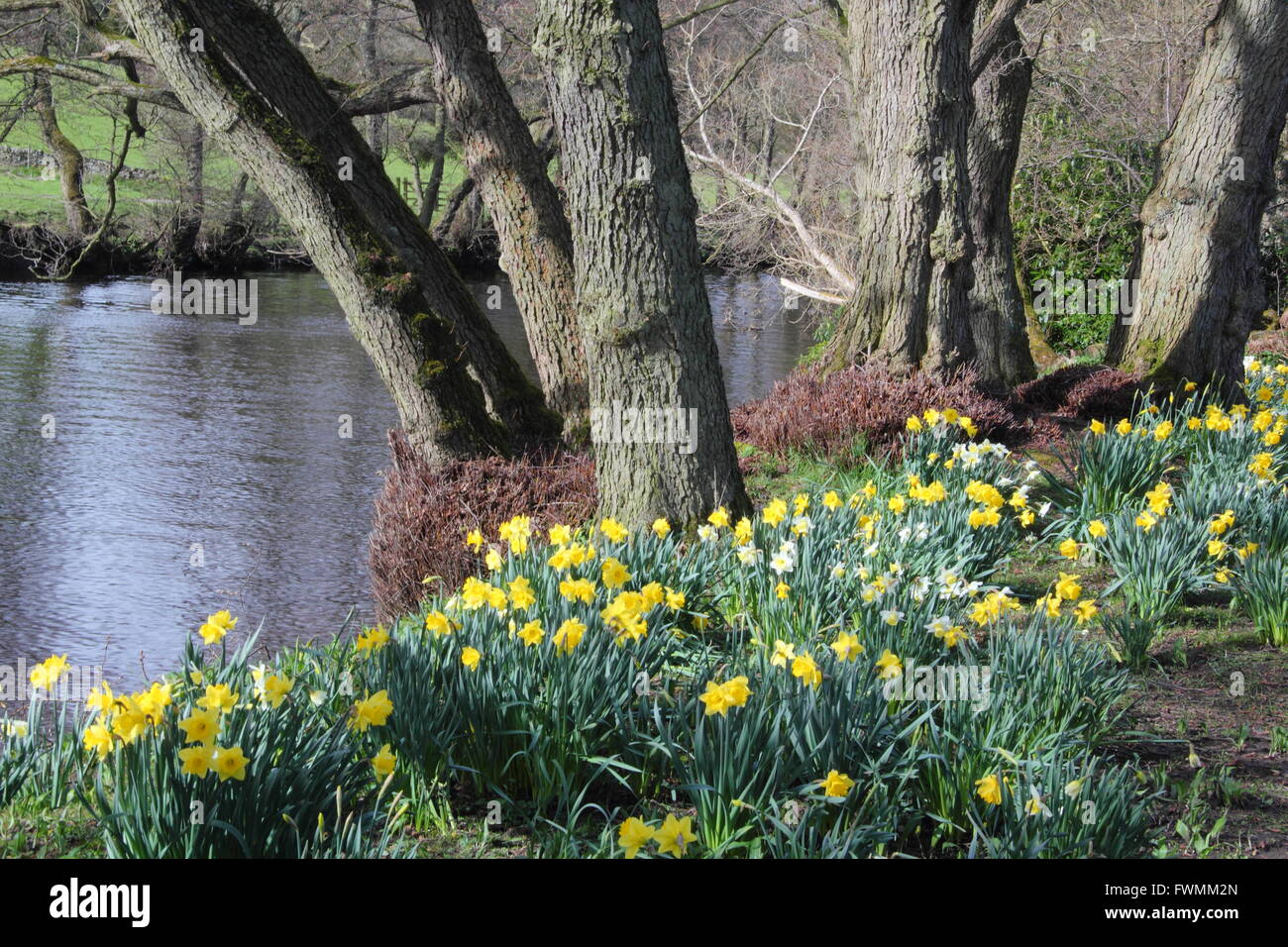 Daffodils line the path along the River Derwent at Froggatt in the Peak District, Derbyshire England UK - Stock Image