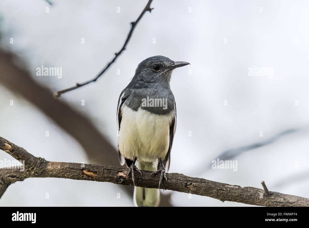 Oriental magpie-robin is a small passerine bird that was formerly classed as a member of the thrush family Turdidae, - Stock Image