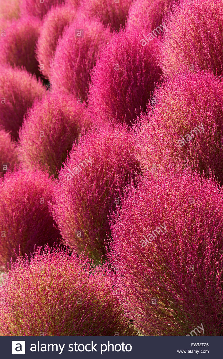 Kochia Scoparia Turns Bright Red In Autumn Stock Photo 101876157