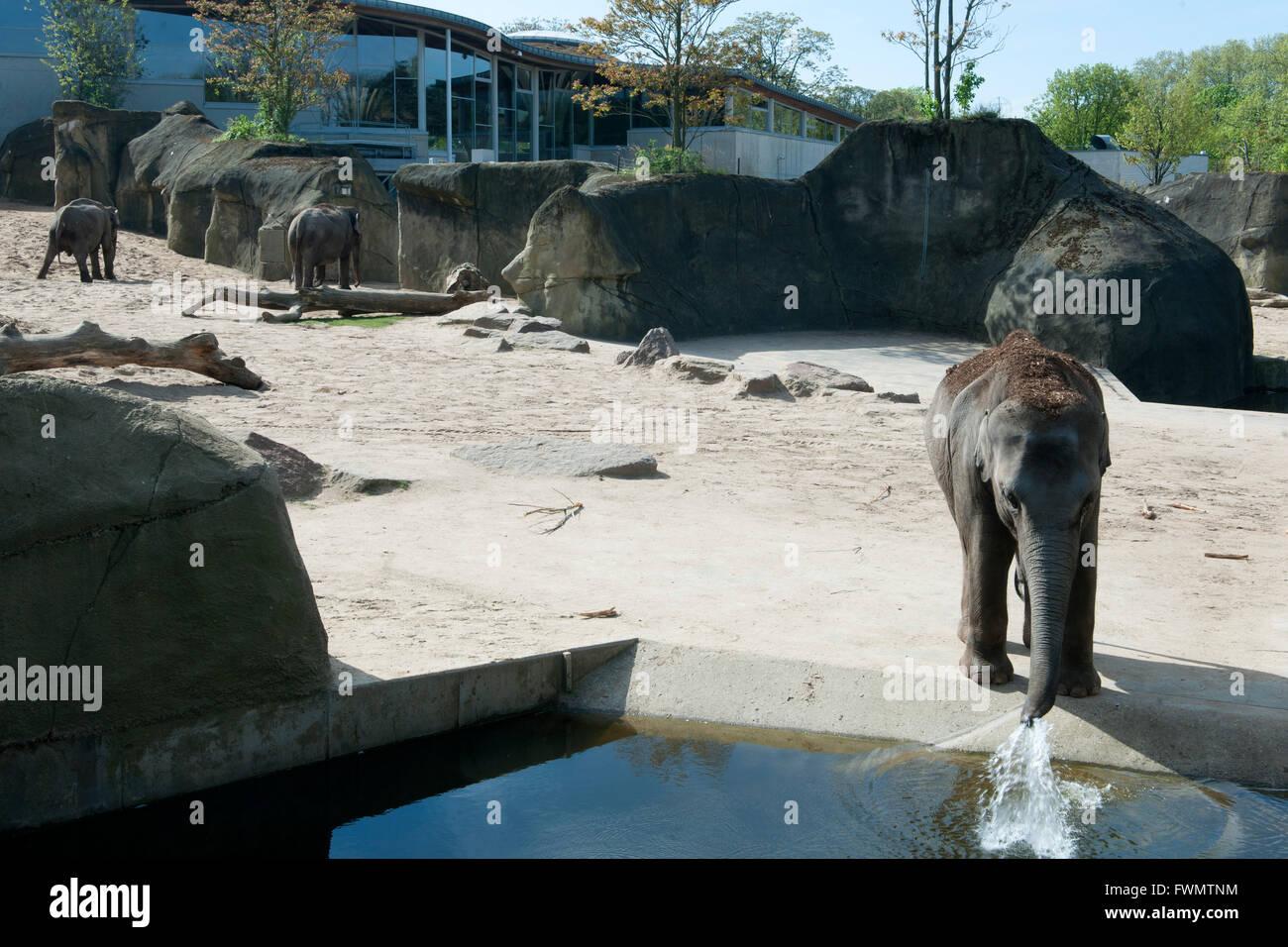 Köln, Riehl, ne Besuch em Zoo, Elefantengehege Stock Photo
