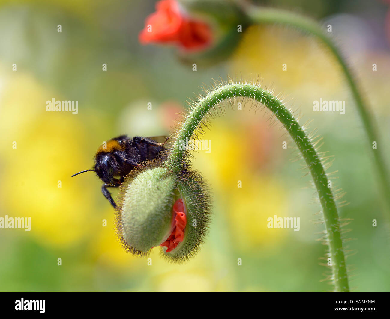 Macro of bumblebee (Bombus) on hairy bud poppy - Stock Image