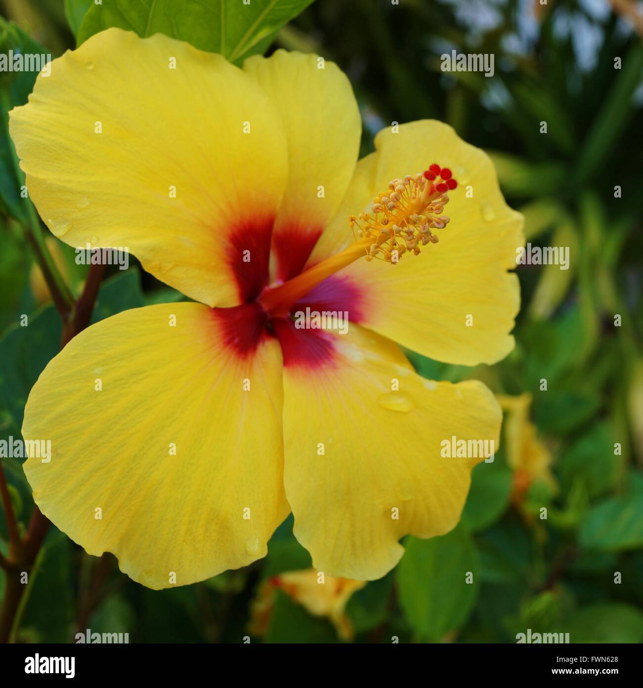 Yellow hibiscus flower with long red and yellow stamen stock photo yellow hibiscus flower with long red and yellow stamen izmirmasajfo