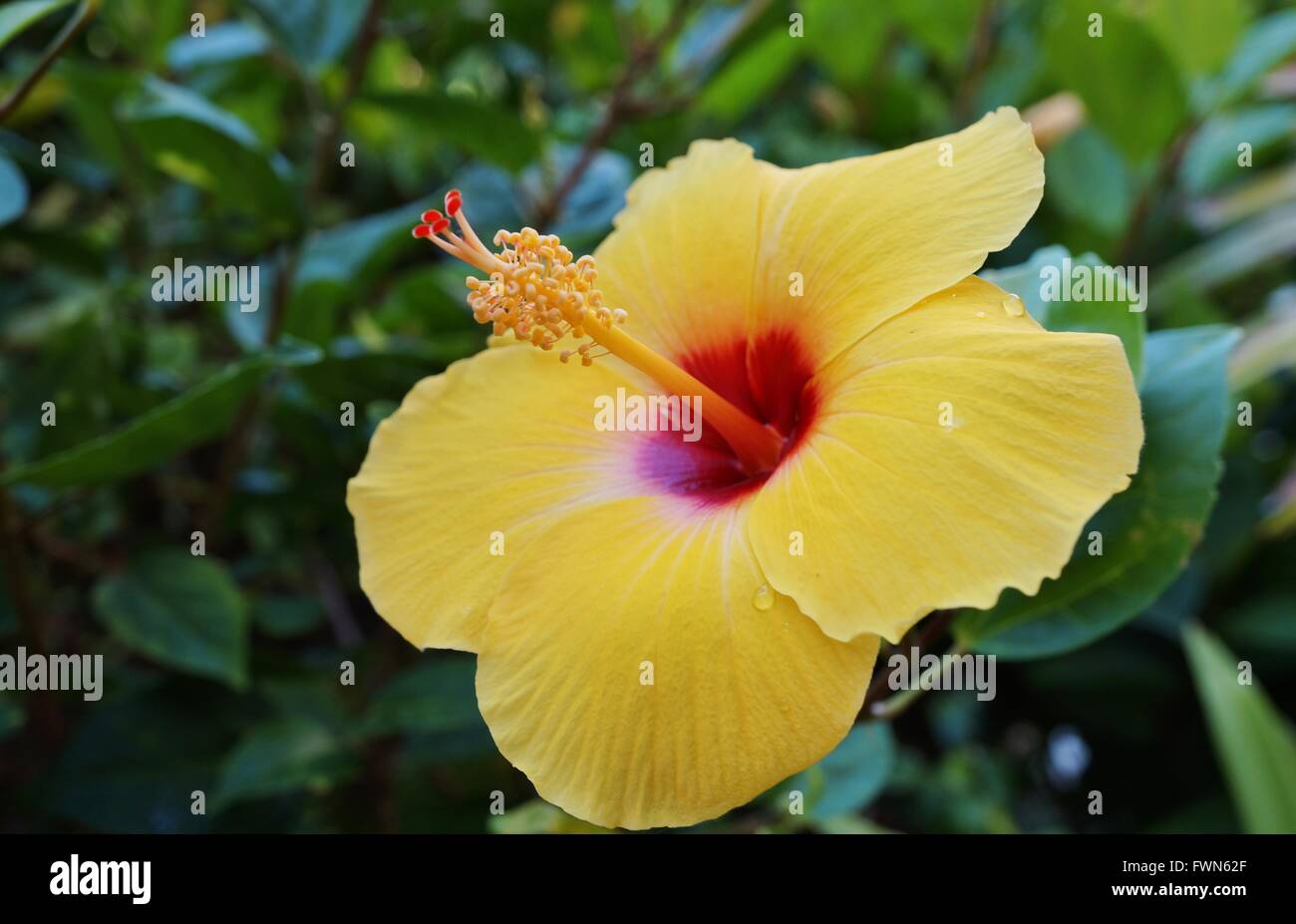Yellow Hibiscus Flower With Long Red And Yellow Stamen Stock Photo