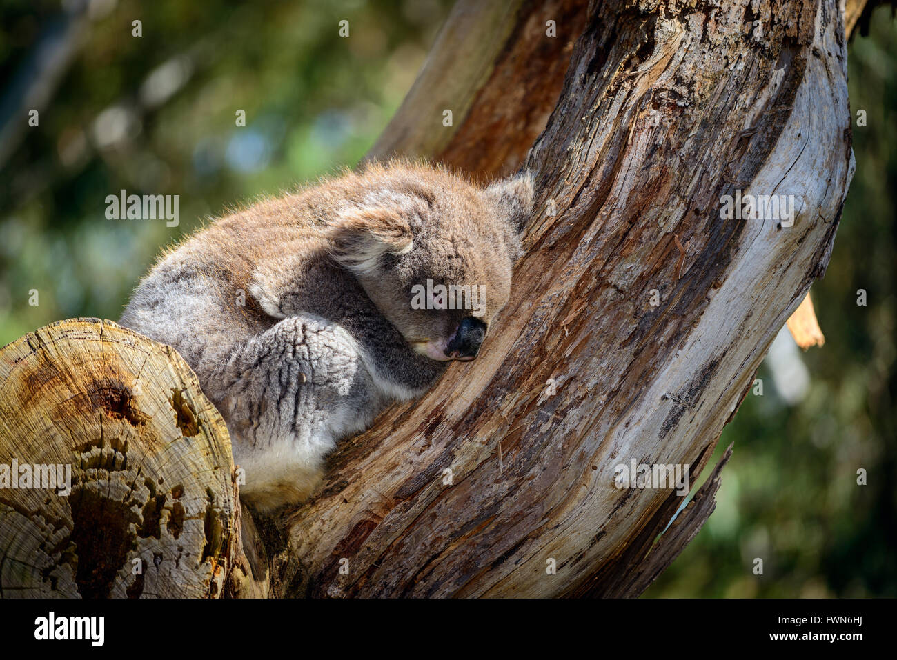 Australian koala bear sleeping on a tree in a wild environment - Stock Image