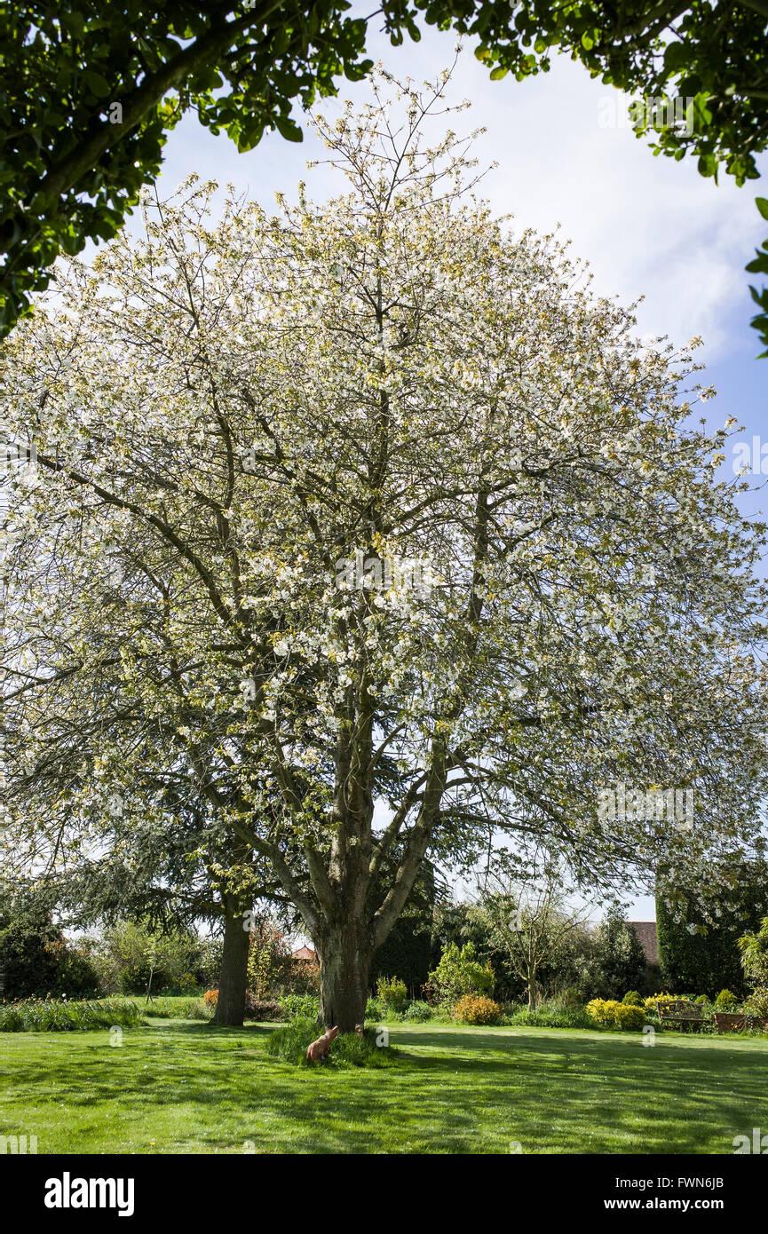 An evergreen hedge frames a prunus avium if full blossom in Spring - Stock Image