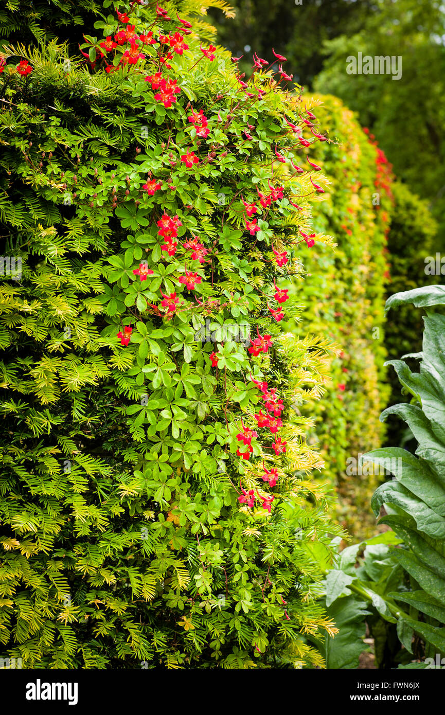A yew hedge is host to climbing plant Troaeolum speciosum to striking effect - Stock Image