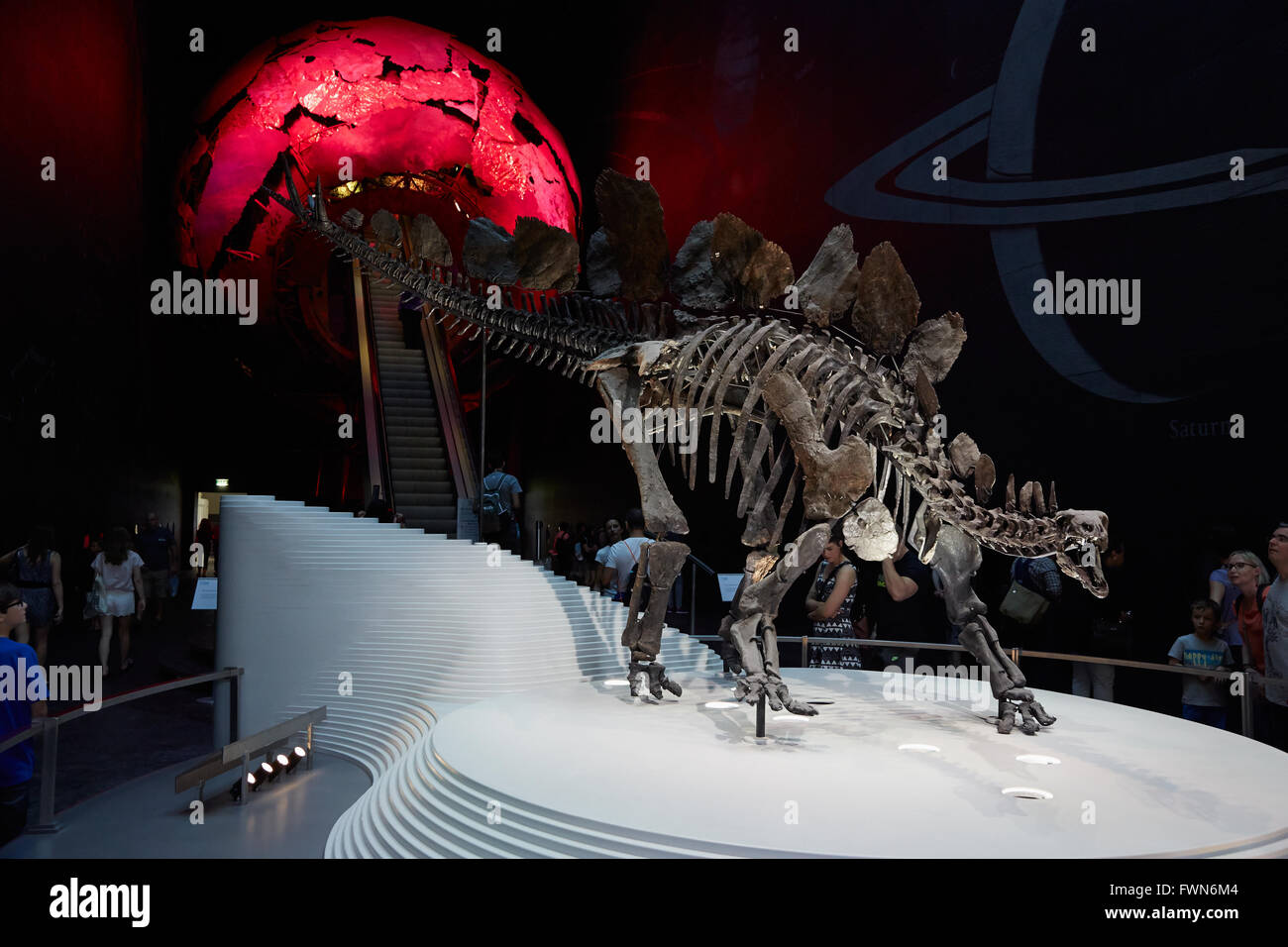 Stegosaurus, dinosaur skeleton in Natural History Museum in London - Stock Image
