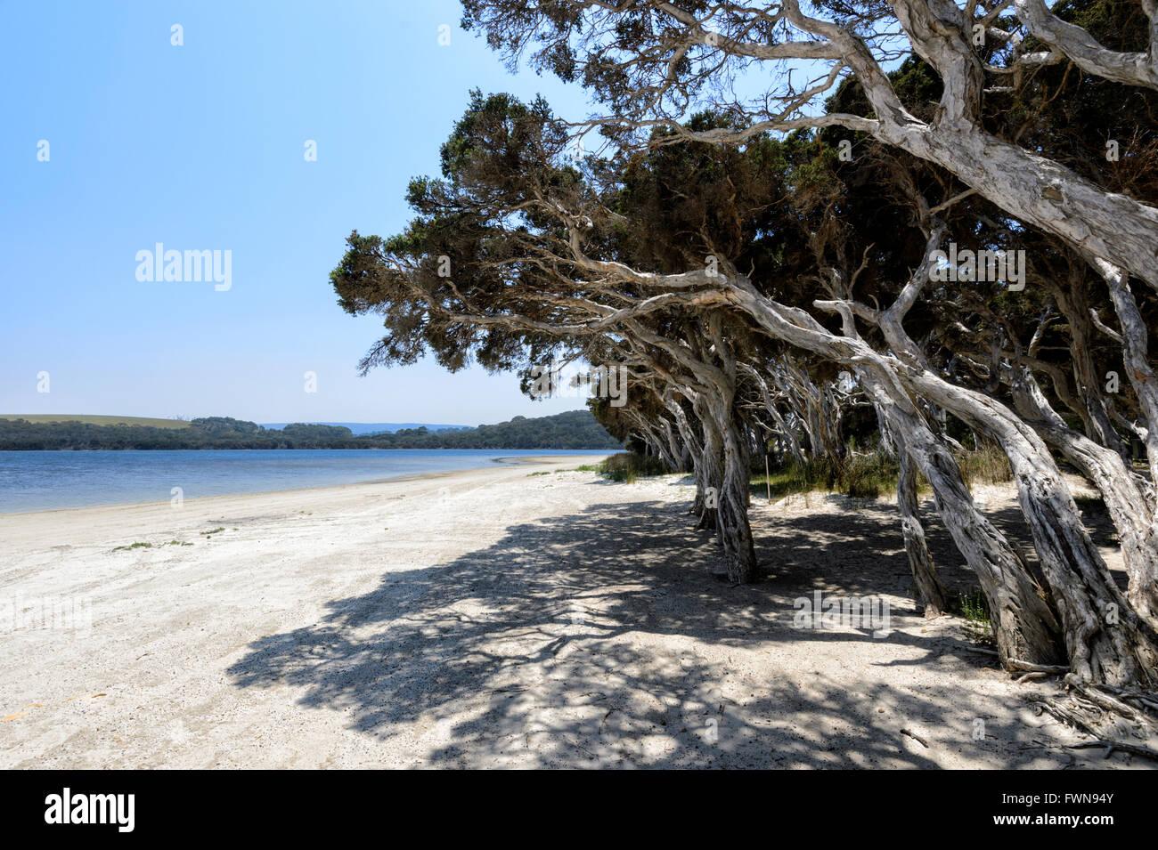 Saltwater Paperbark (Melaleuca cuticularis), Nanarup Beach, Western Australia, WA, Australia - Stock Image