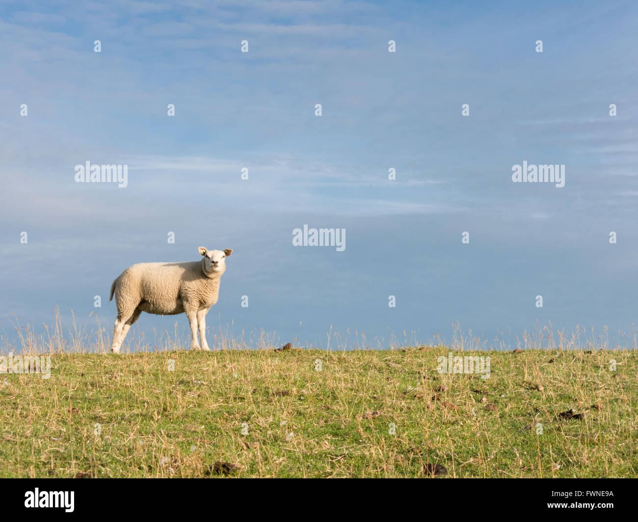 Portrait of sheep on polder dyke in North Holland, Netherlands - Stock Image