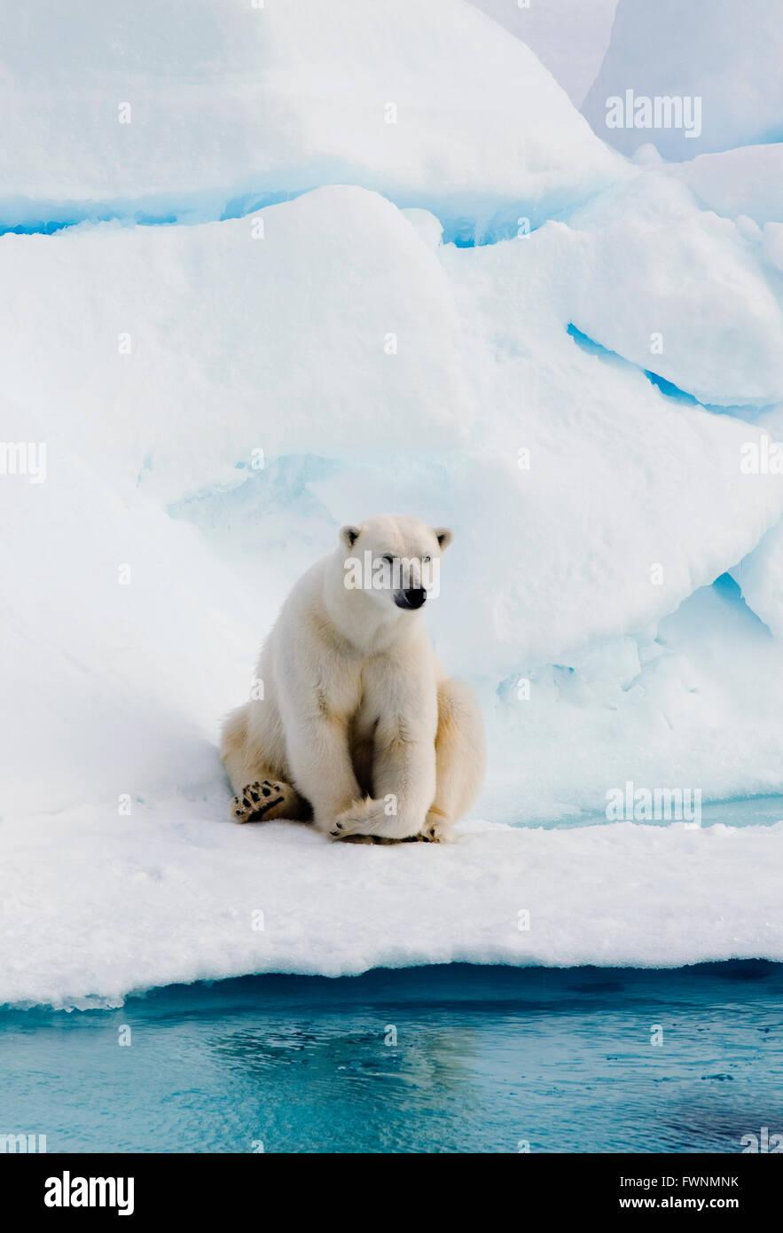 Polar Bear (Ursus maritimus)  On Pack Ice, Arctic  WILD - Stock Image