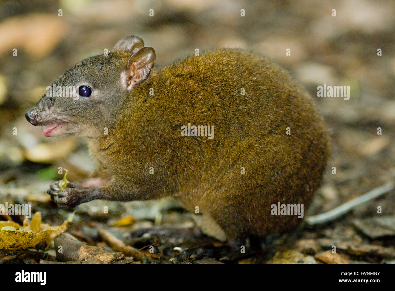 Musky Rat-kangaroo (Hypsiprymnodon moschatus) Smallest of the Macropods, WILD, Kuranda National Park, Queensland, - Stock Image