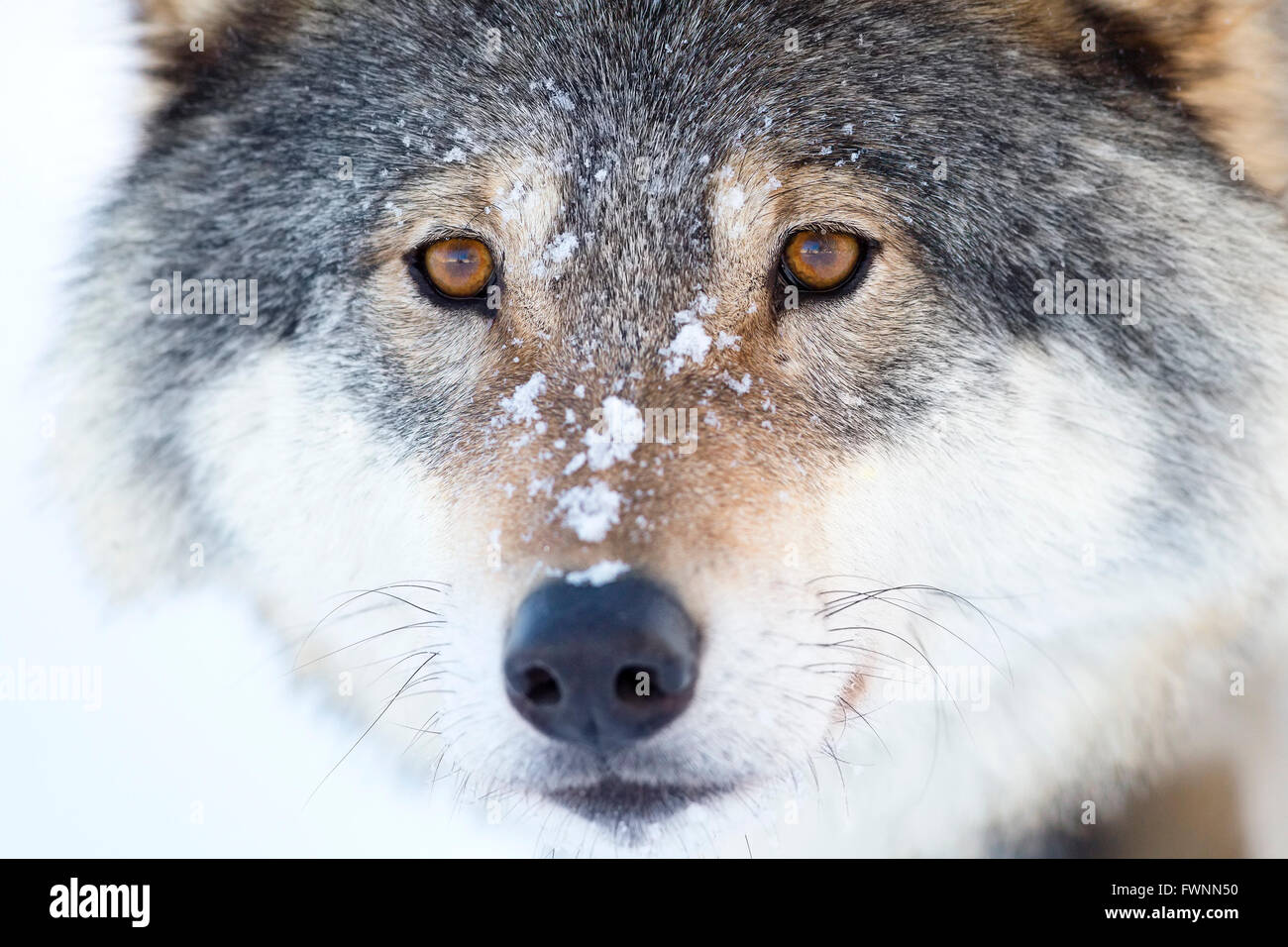 Close-up of a wolfs head in the winter - Stock Image