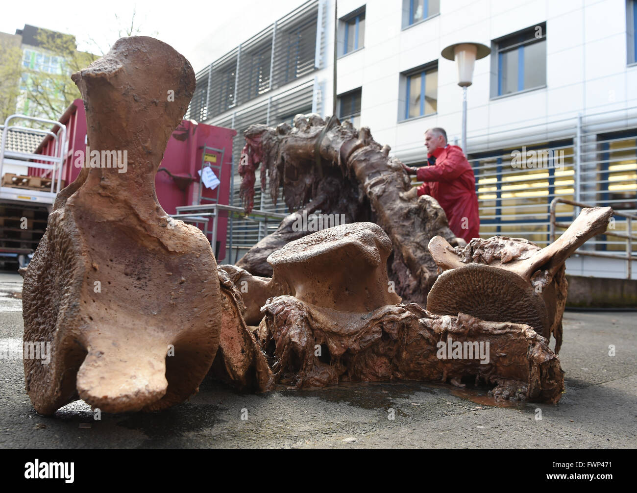 Giessen, Germany. 07th Apr, 2016. A spermwhale spine pictured on the grounds of the Institute of Veterinary Anatomy - Stock Image