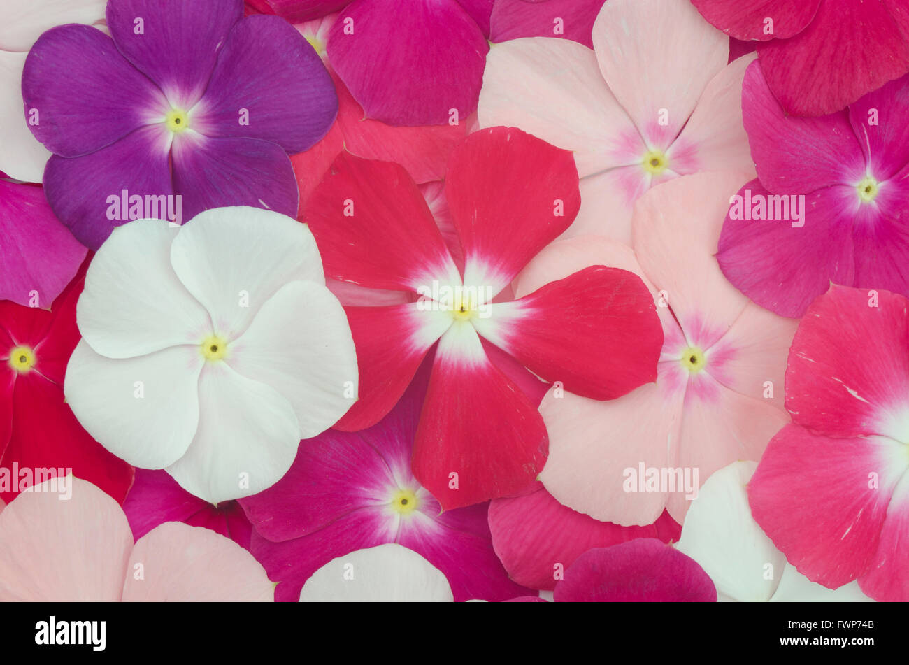 Periwinkle background Stock Photo