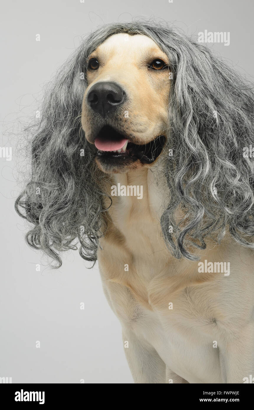 yellow Labrador dog in a wig - Stock Image