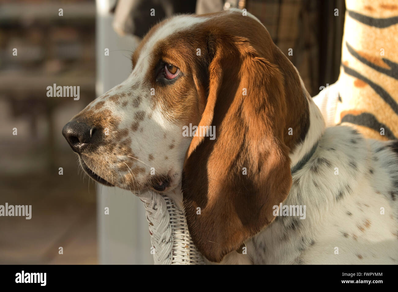 A 2 year old basset hound sitting in a chair relaxing, Berkshire - Stock Image