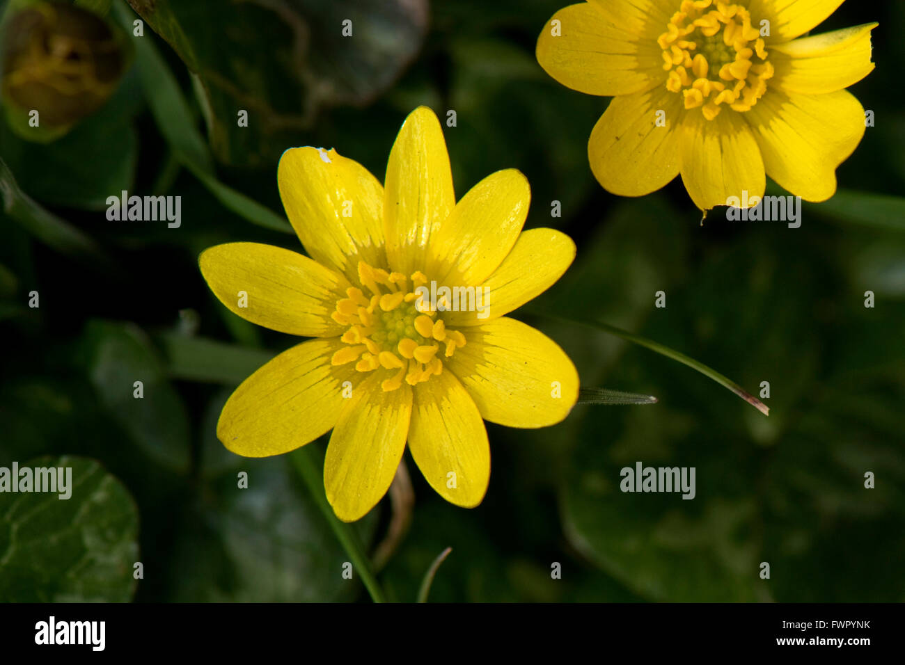 Lesser celandine, Ficaria verna, yellow, shiny flower on buttercup type plant in early spring, Berkshire, April - Stock Image