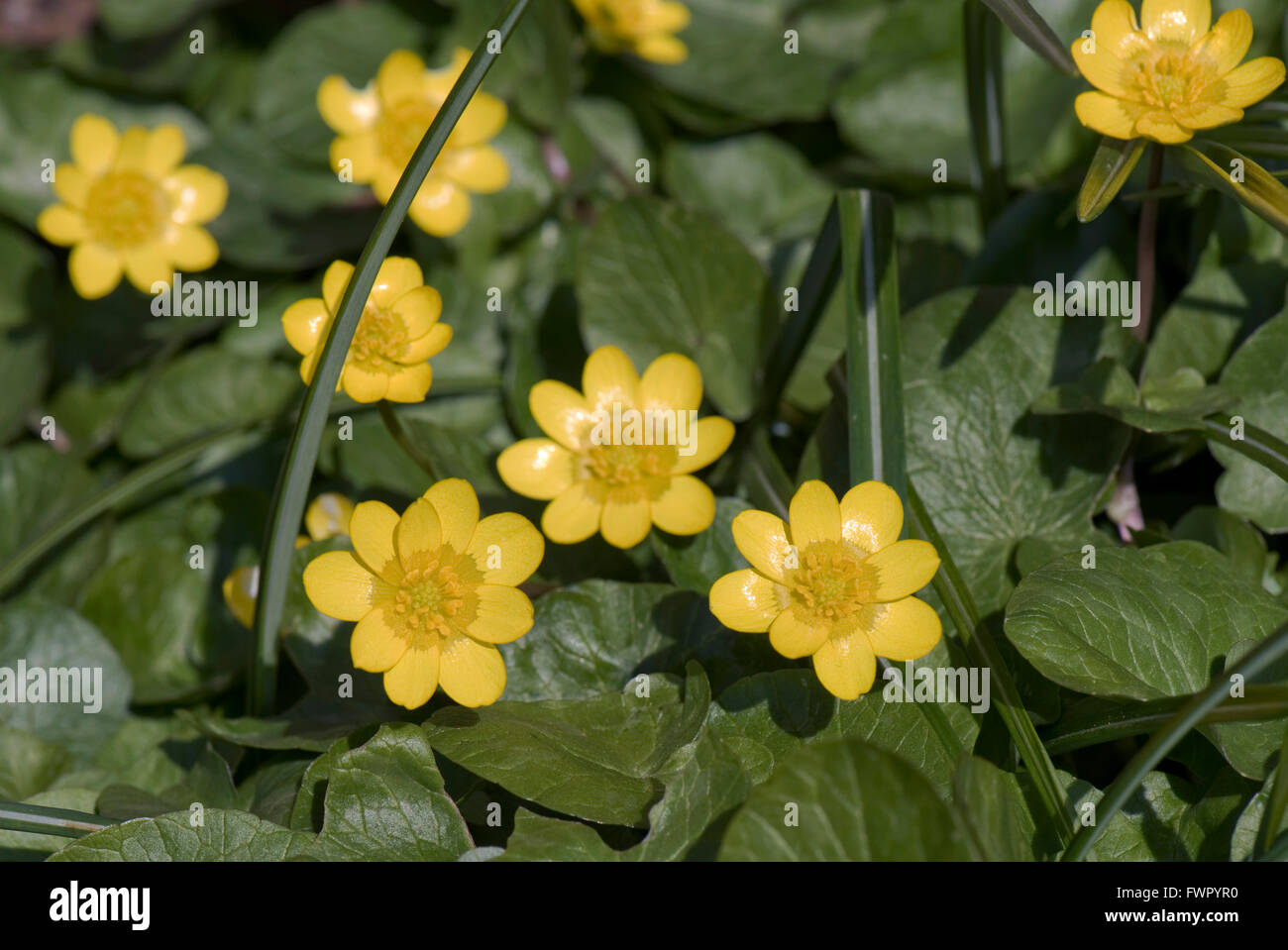 Lesser Celandine Ficaria Verna Yellow Shiny Flowers On Buttercup