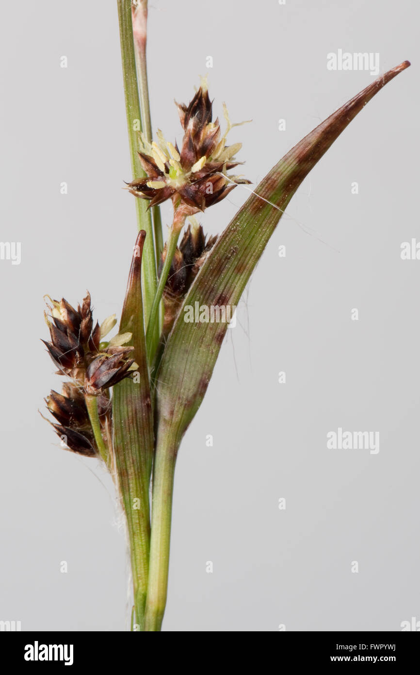 Field woodrush or Good Friday grass, Luzula campestris, flower spike in spring, Berkshire, April - Stock Image