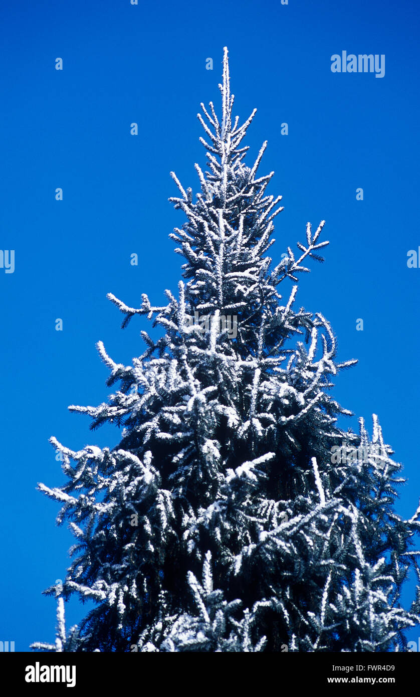 snow covered fir tree - Stock Image