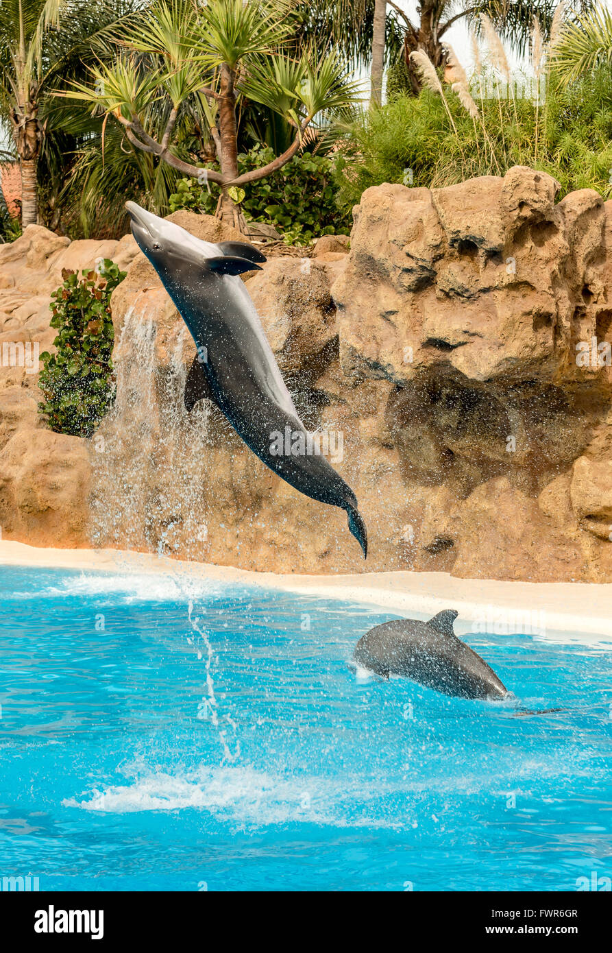 DOLPHINS PERFORMING AT LORO PARQUE, PUERTO DE LA CRUZ, TENERIFE - Stock Image