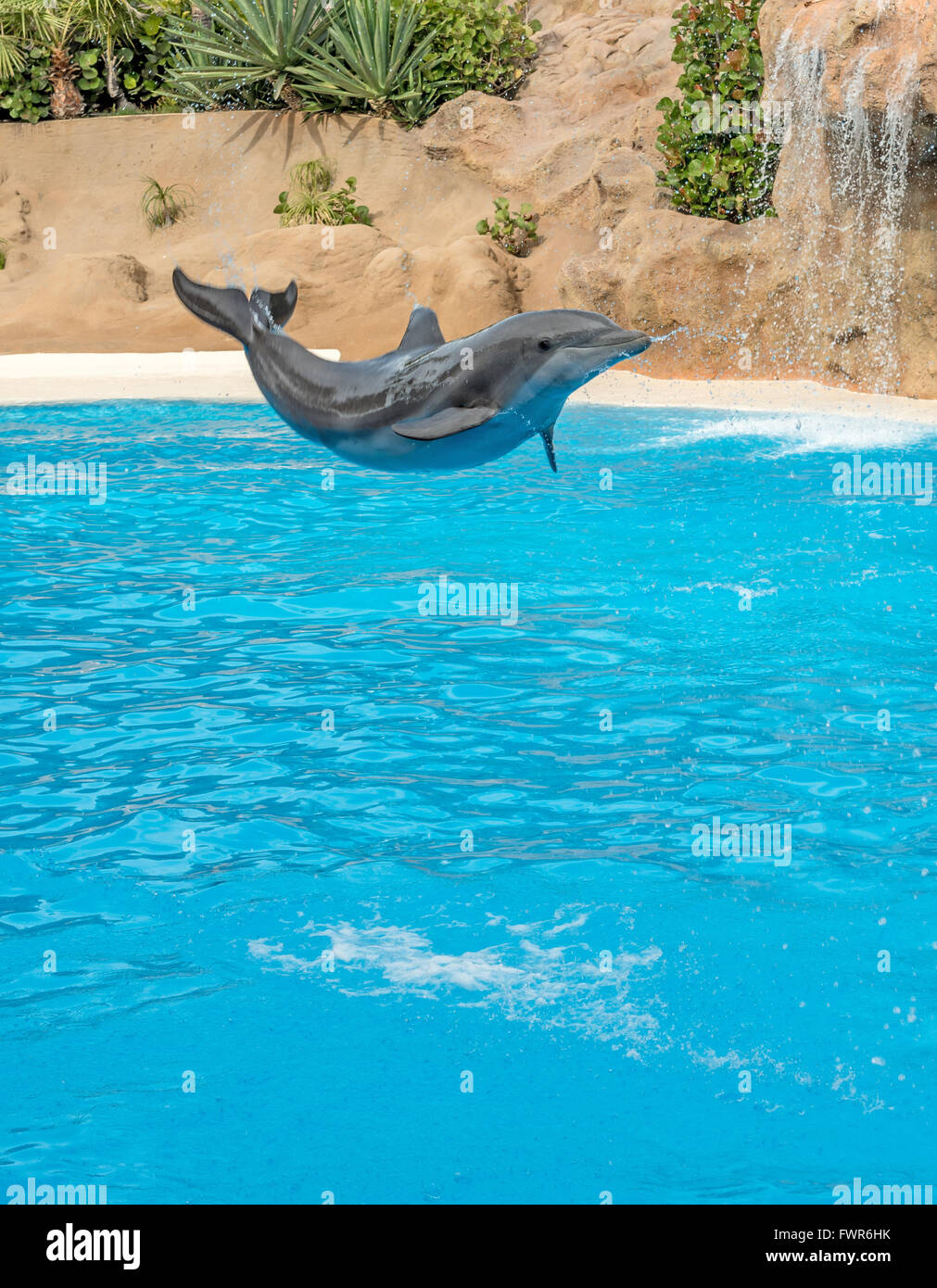 DOLPHIN PERFORMING AT LORO PARQUE, PUERTO DE LA CRUZ, TENERIFE - Stock Image