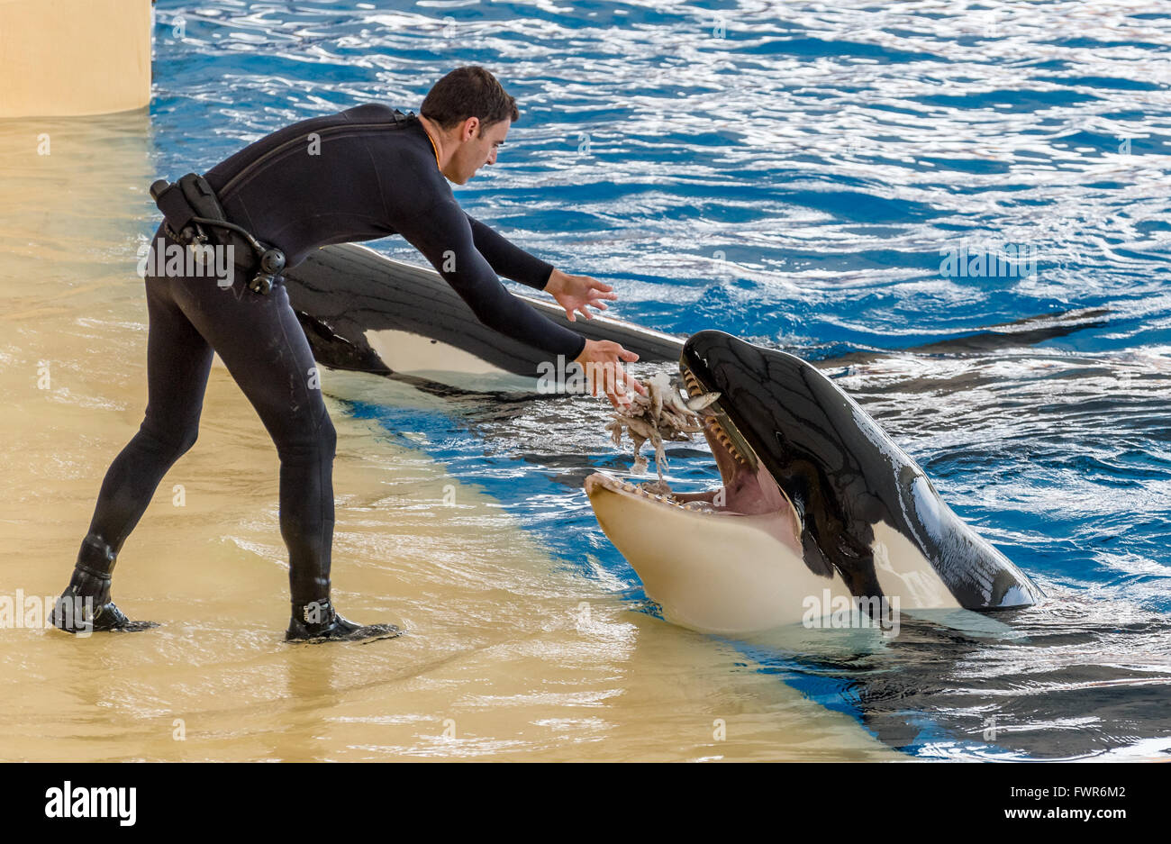 killer whale or orca (Orcinus orca) performing at Loro Parque, Tenerife - Stock Image