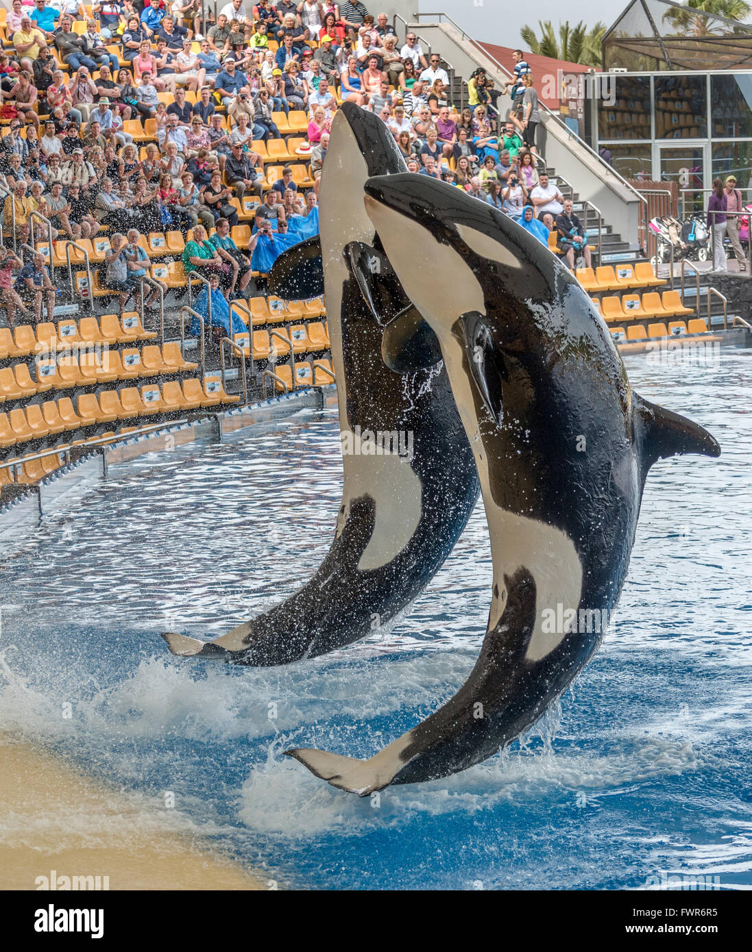 killer whales or orca (Orcinus orca) performing at Loro Parque, Tenerife - Stock Image