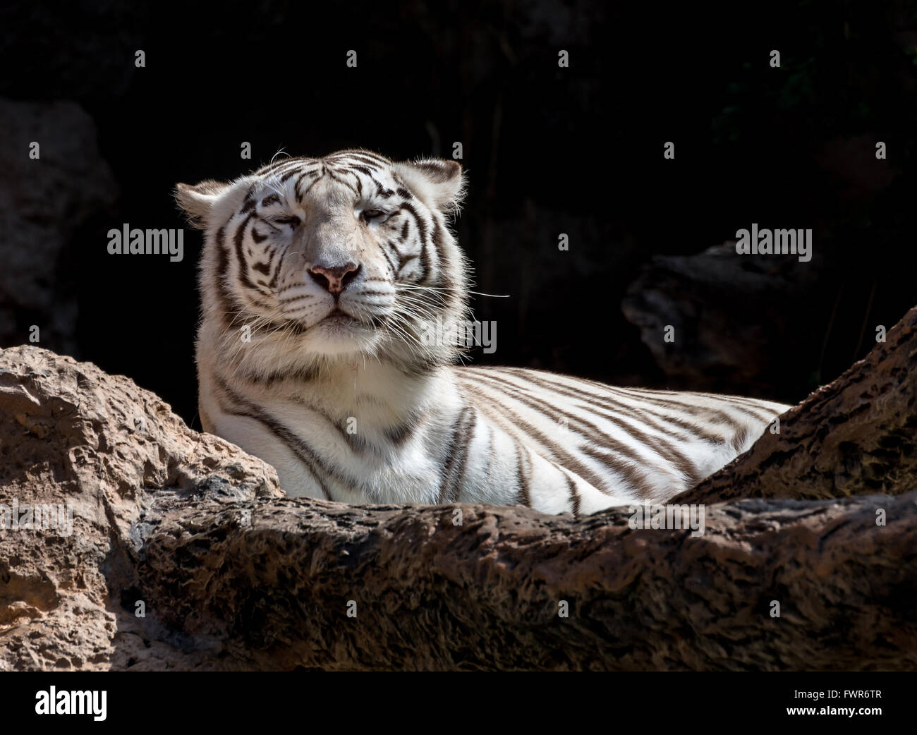 White Bengal Tiger Lying down - Stock Image