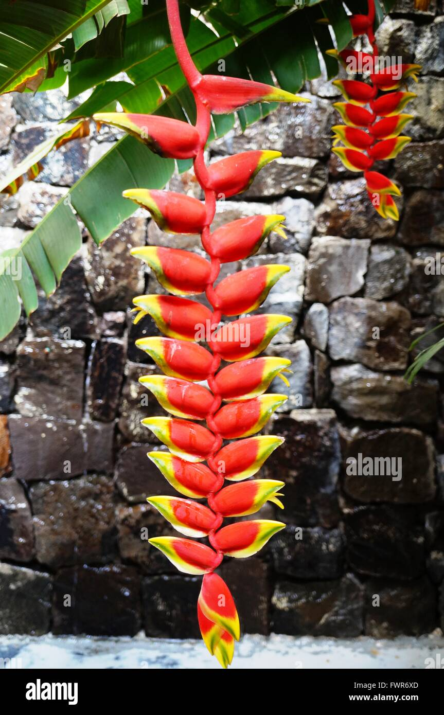 Red And Yellow Hanging Flowers Of The Heliconia Rostrata Plant Stock