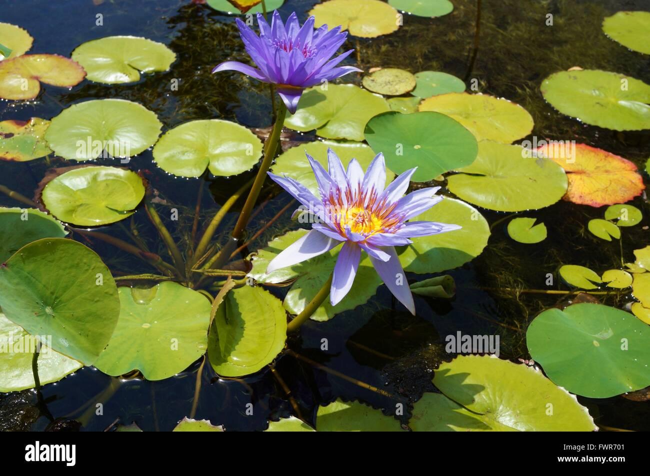 Purple Aquatic Waterlily Lotus Flowers In A Pond In Hawaii Stock