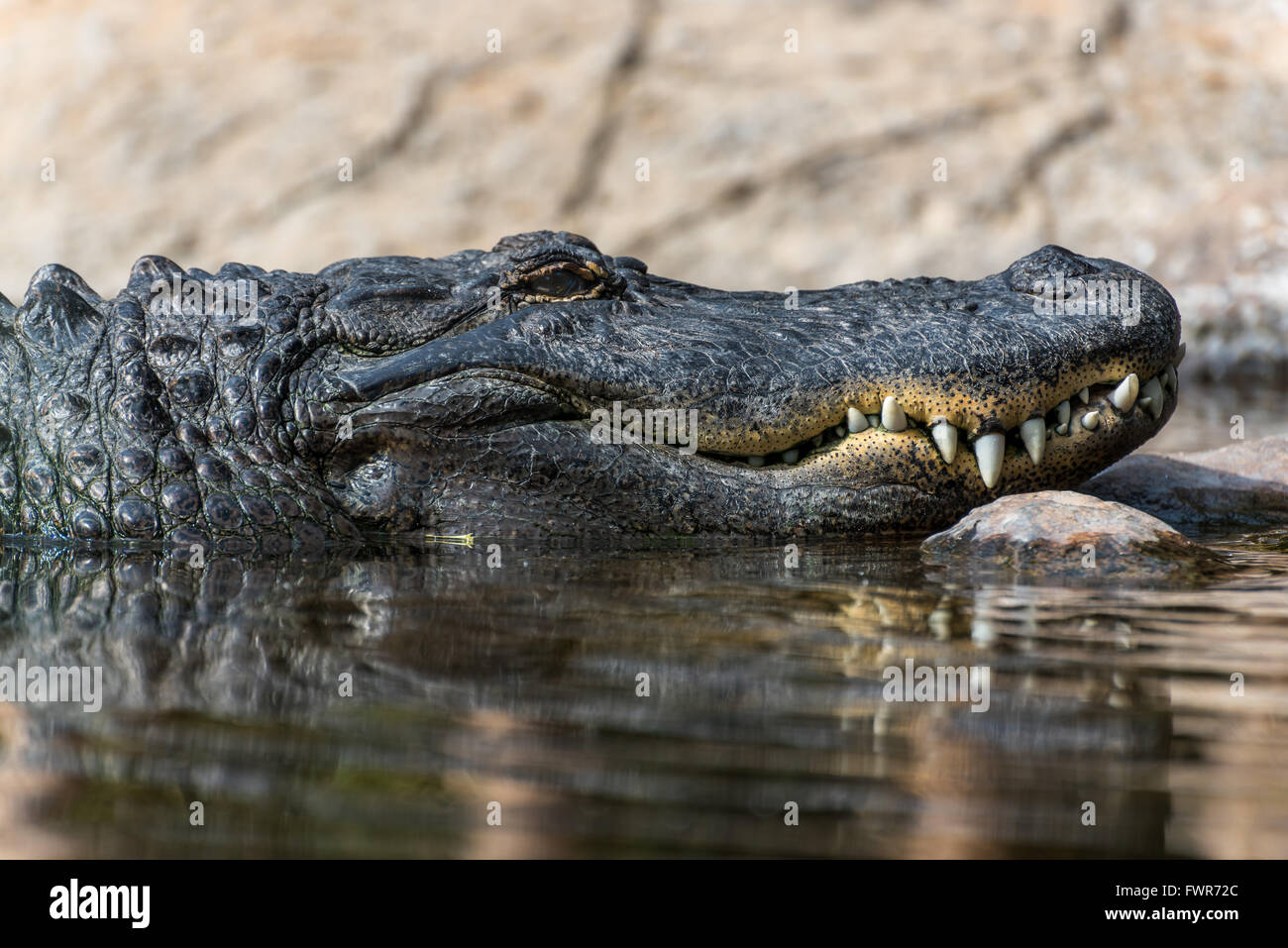 Side view of an American Alligator's head showing the mouth and teeth - Stock Image