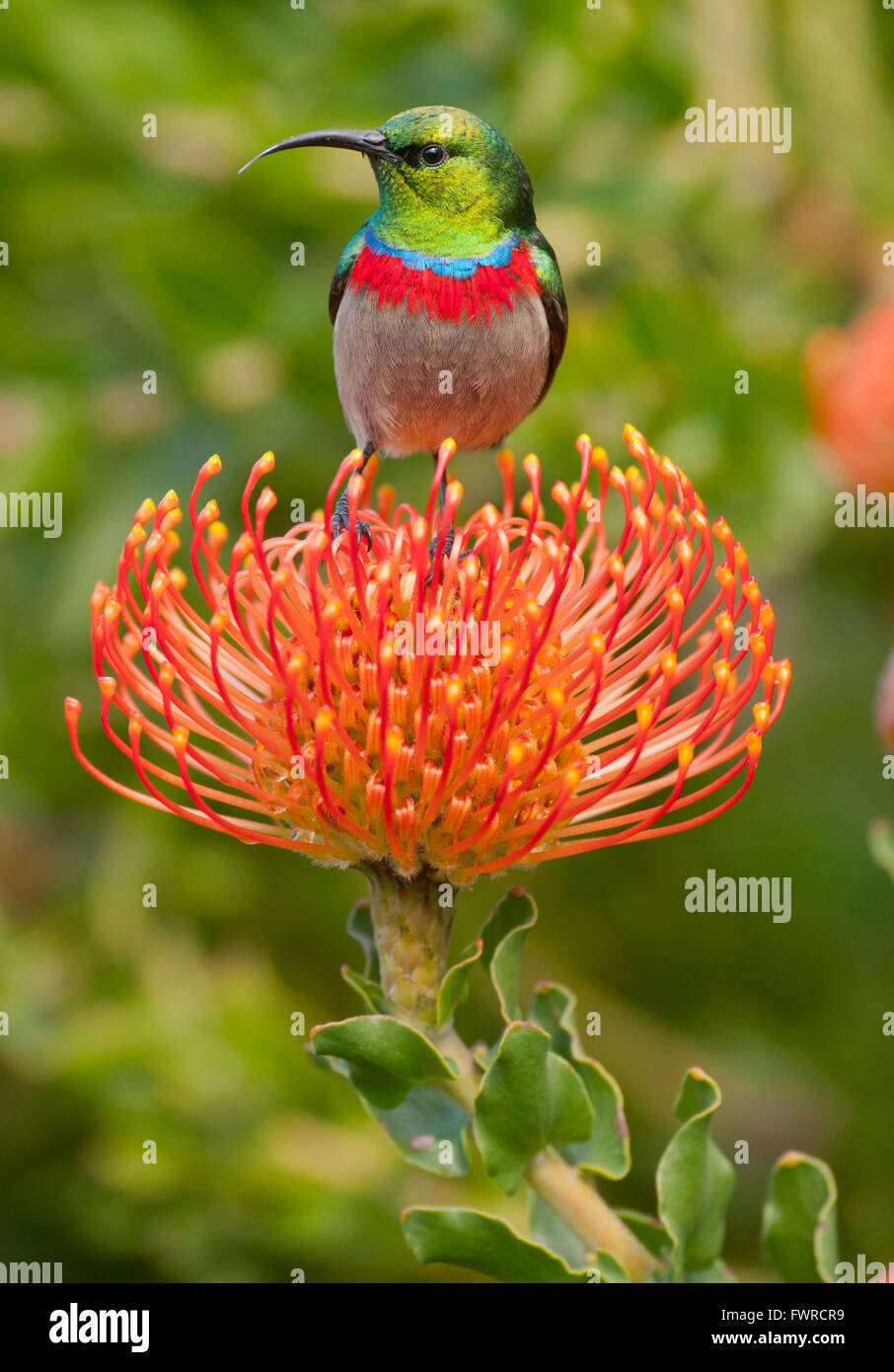 Southern Double-collared Sunbird (Cinnyris chalybeus) on 'Pincushion' Protea  Kirstenbosch Gardens, Cape - Stock Image