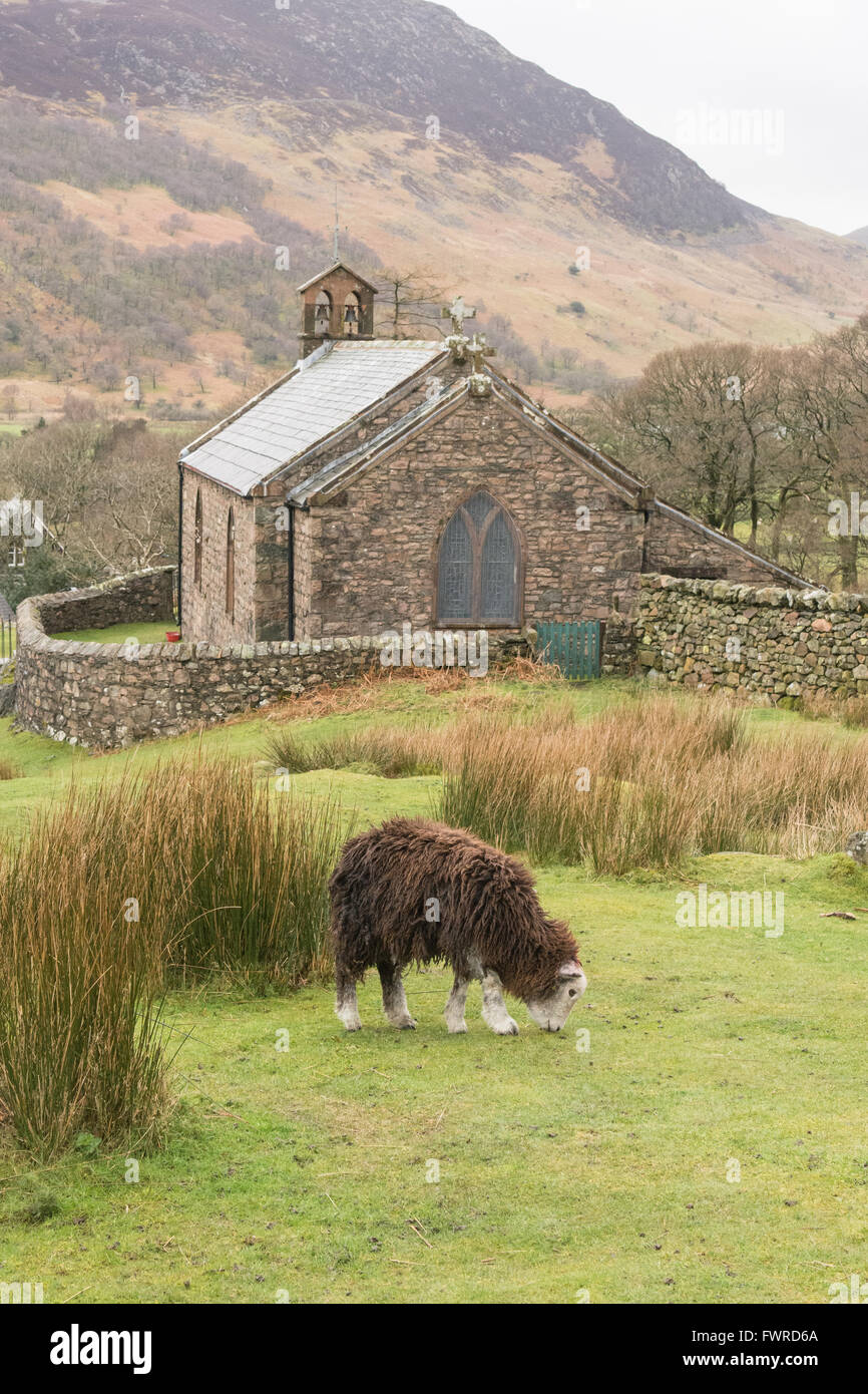 Herdwick sheep grazing by St James' Church in the village of Buttermere, Lake District, Cumbria, England, UK - Stock Image
