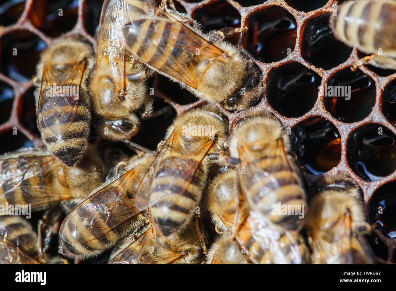 working bees on honeycomb with honey, on a sunny day - Stock Image