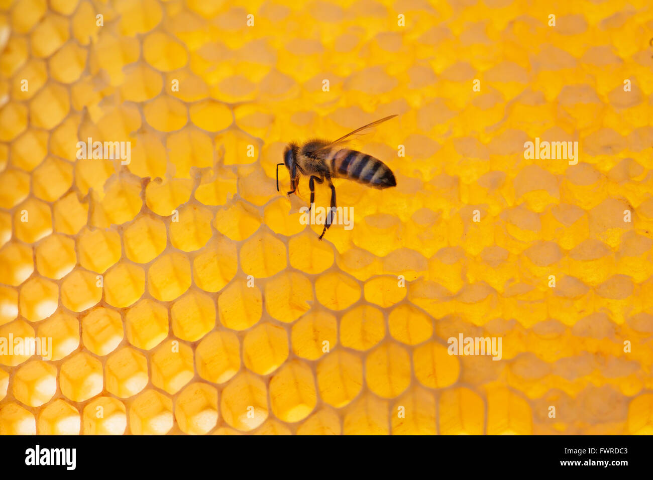 working bee on honeycomb with honey, on a sunny day - Stock Image