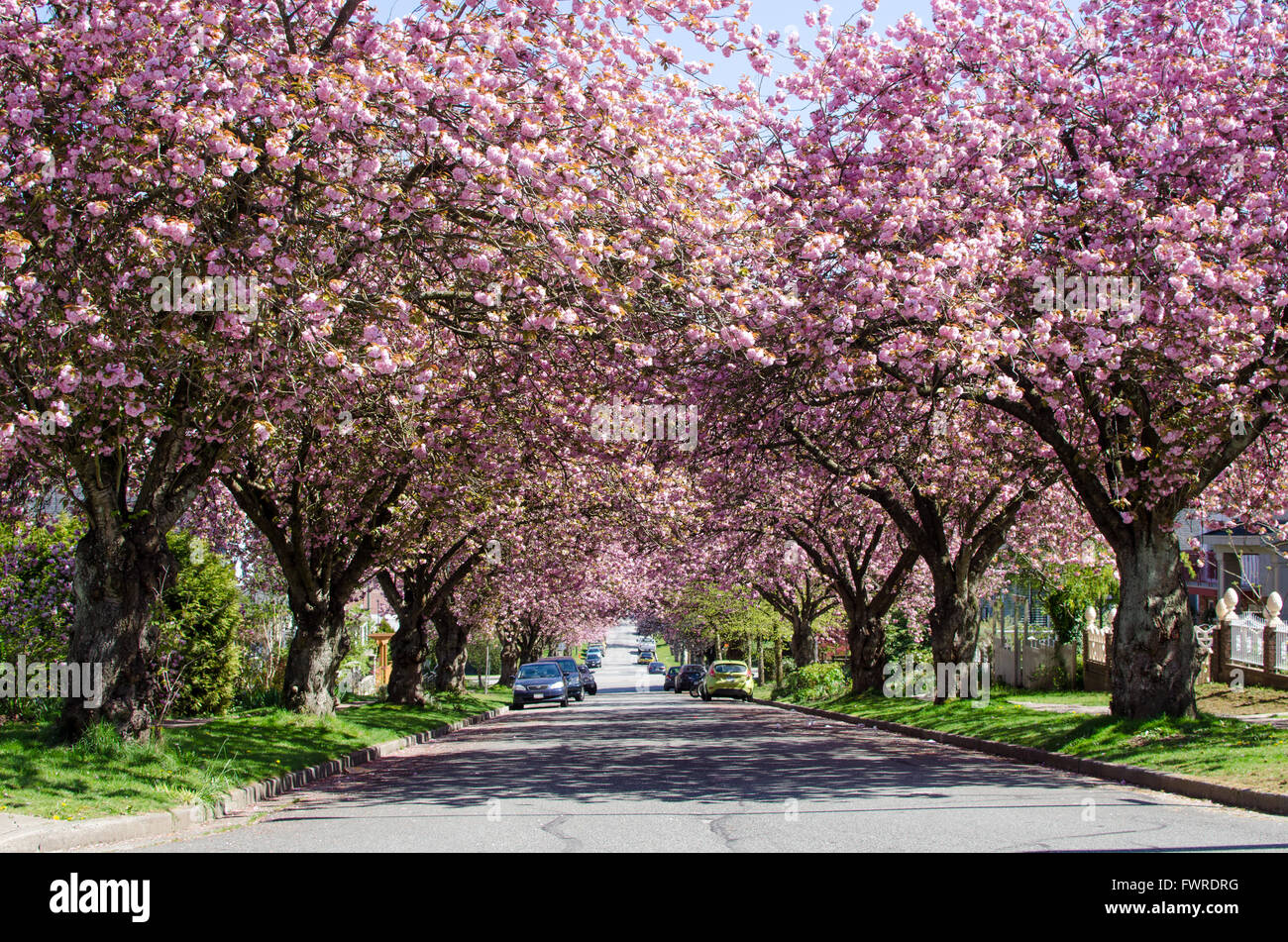 Canada Cherry Blossom High Resolution Stock Photography And Images Alamy