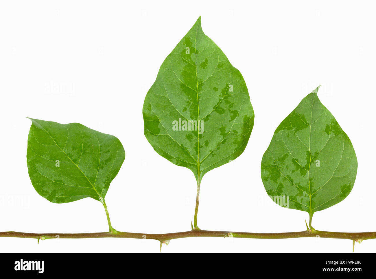 Isolated stem of three damp green bougainvillea leaves with tiny thorns on white - Stock Image